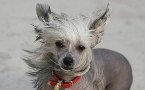 Обои собака, взгляд, ветер, друг