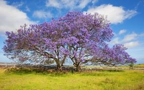 Картинка небо, трава, облака, дерево, Гавайи, цветёт, Жакаранда, остров Мауи
