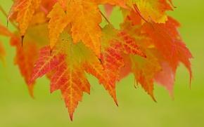 Картинка листья, фон, ветка, красные, оранжевые, осенние