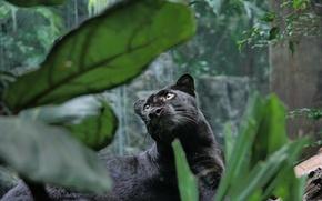 Обои лес, кошка, морда, обои, хищник, пантера, джунгли, киска, чёрная, wallpaper, зверь, кошачьи, panthera
