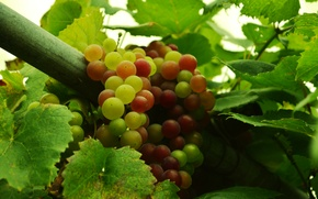 Обои ягоды, виноград, осень, фрукты, еда