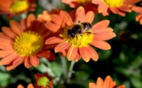 Картинка осень, цветы, насекомое, широкоформатные, хризантема, оранжевые лепестки