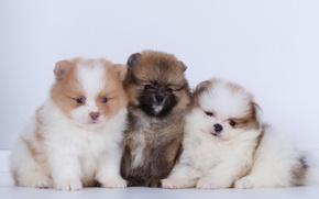Картинка щенки, трио, шпиц