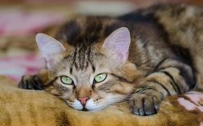 Картинка усы, лежит, взгляд, кошак, смотрит, котяра, глаза, кот