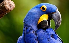 Картинка птица, крупный попугай, гиацинтовый ара, Anodorhynchus hyacinthinus