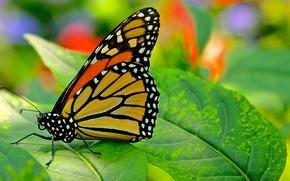 Картинка природа, лист, бабочка, мотылек