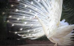 Картинка перья, белый индийский павлин, хвост, птица