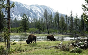 Картинка American Bison, grazing by river, wild bulls