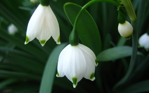 Обои цветы, макро, первоцвет, весна, Подснежники