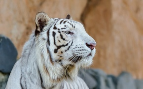 Картинка морда, хищник, профиль, белый тигр, дикая кошка