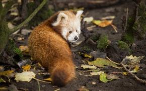 Картинка взгляд, листья, красная панда, firefox, малая панда
