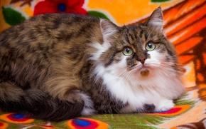 Картинка кошка, глаза, взгляд, фон, пушистая, трехцветная, пятнистая, обои от lolita777