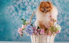 Картинка цветы, корзина, шпиц