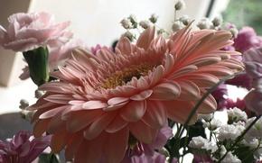 Картинка розовая, Цветы, гербера
