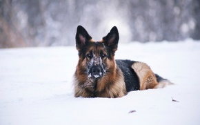 Картинка снег, друг, собака