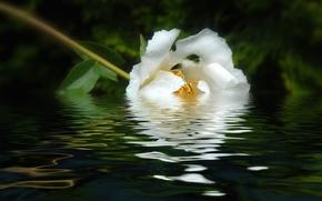 Картинка белый, вода, отражение, пион