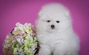 Картинка белый, цветок, пушистый, милый, щенок, гортензия, шпиц