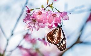 Картинка макро, цветы, вишня, веточка, дерево, фокус, весна, Бабочка, лепестки, размытость, сакура, розовые, цветение