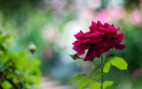 Обои цветок, фон, роза, лепестки