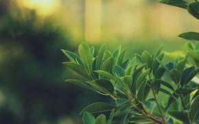 Обои ветка, зелень, листья