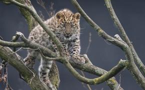 Картинка ветки, леопард, детёныш, котёнок, Дальневосточный леопард, Амурский леопард