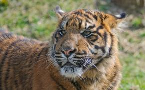 Картинка кошка, взгляд, тигрёнок, котёнок, морда, тигр, амурский, детёныш