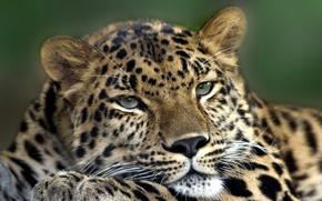 Обои кошка, глаза, усы, морда, животное, лапа, хищник, голова, шерсть, леопард, шкура, окрас, зверь, уши, меж, ...