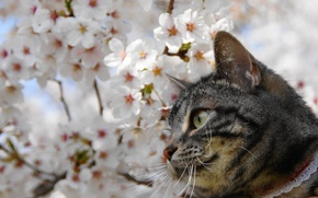 Картинка глаза, кот, усы, сакура
