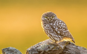 Картинка животные, природа, сова, птица