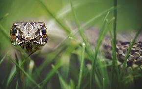 Обои трава, взгляд, чешуя, боке, гипноз, рептилия