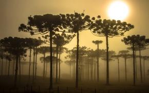 Картинка деревья, Бразилия, араукария, Парана