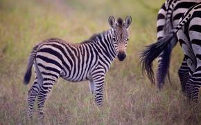 Картинка детёныш, зебры, жеребёнок