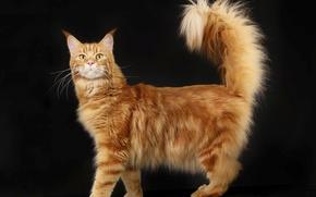 Картинка кот, пушистый, рыжий, домашний, мейн-кун, породистый, аборигенная порода