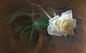 Картинка роза, текстура, белая
