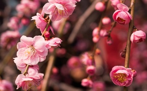 Картинка макро, ветки, дерево, розовый, весна, цветение, слива