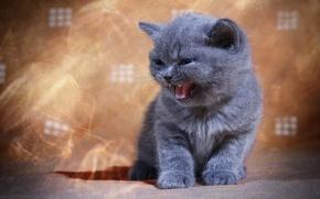 Картинка котёнок, мяу, британская короткошёрстная