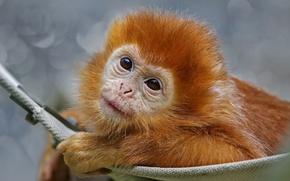 Картинка взгляд, морда, животное, обезьяна, гамак, детёныш