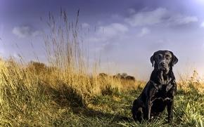 Картинка взгляд, друг, собака, лабрадор