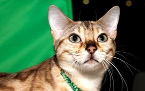 Картинка кошка, глаза, взгляд, морда, бенгальская, чёрно-пятнистая