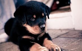 Картинка puppy, dog, cute, щенок. песик