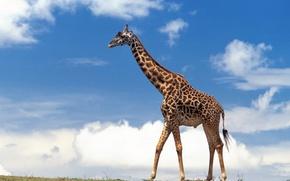 Обои небо, облака, жираф