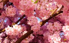 Картинка небо, вишня, дерево, весна, лепестки, цветение