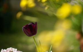 Картинка листья, макро, цветы, красный, фон, widescreen, обои, тюльпан, размытие, тюльпаны, wallpaper, цветочки, широкоформатные, background, полноэкранные, …