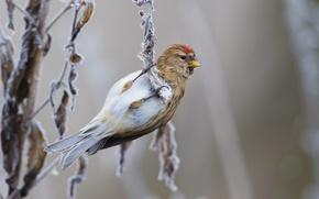 Картинка зима, иней, ветки, птица, чечётка, Январь