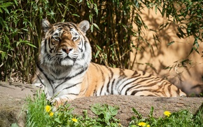 Картинка кошка, трава, солнце, тигр, тень, амурский