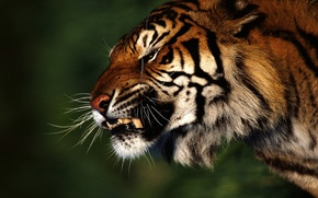 Обои Лес, тигр, злость