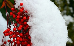 Картинка снег, ягоды, ветка, красные