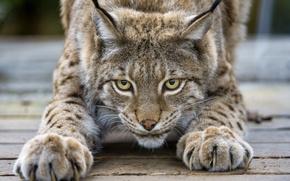 Картинка кошка, взгляд, когти, рысь, ©Tambako The Jaguar