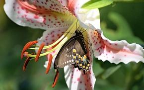 Картинка цветок, макро, бабочка, лилия, тычинки, Парусник поликсена