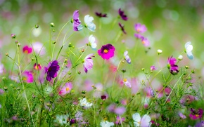 Картинка цветы, луг, космея